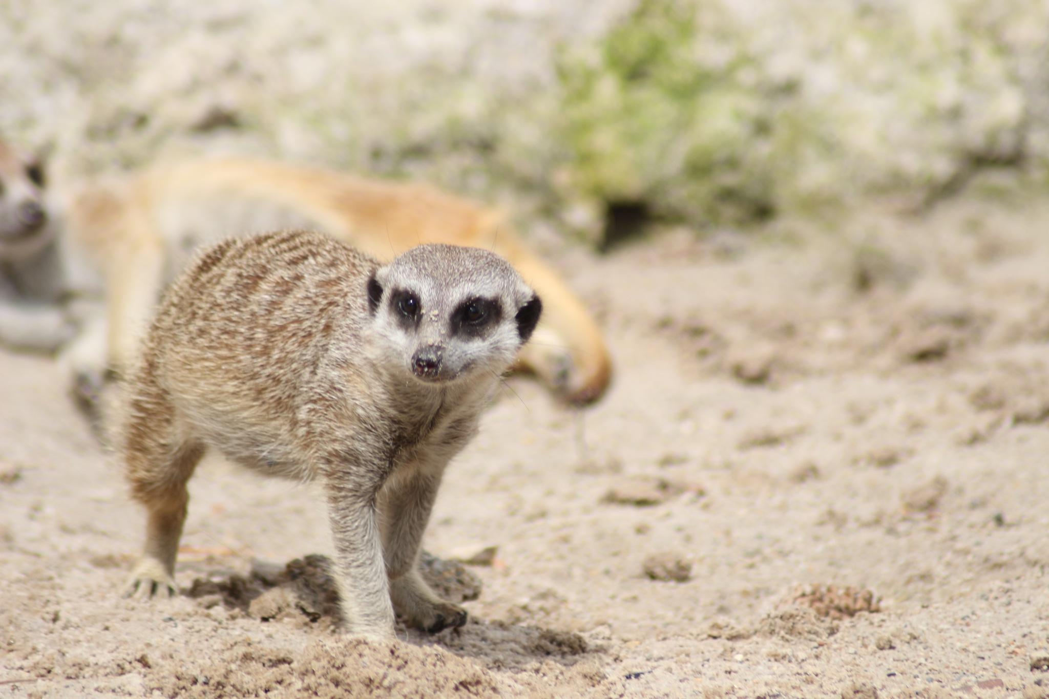 The meerkat by TessAnimals