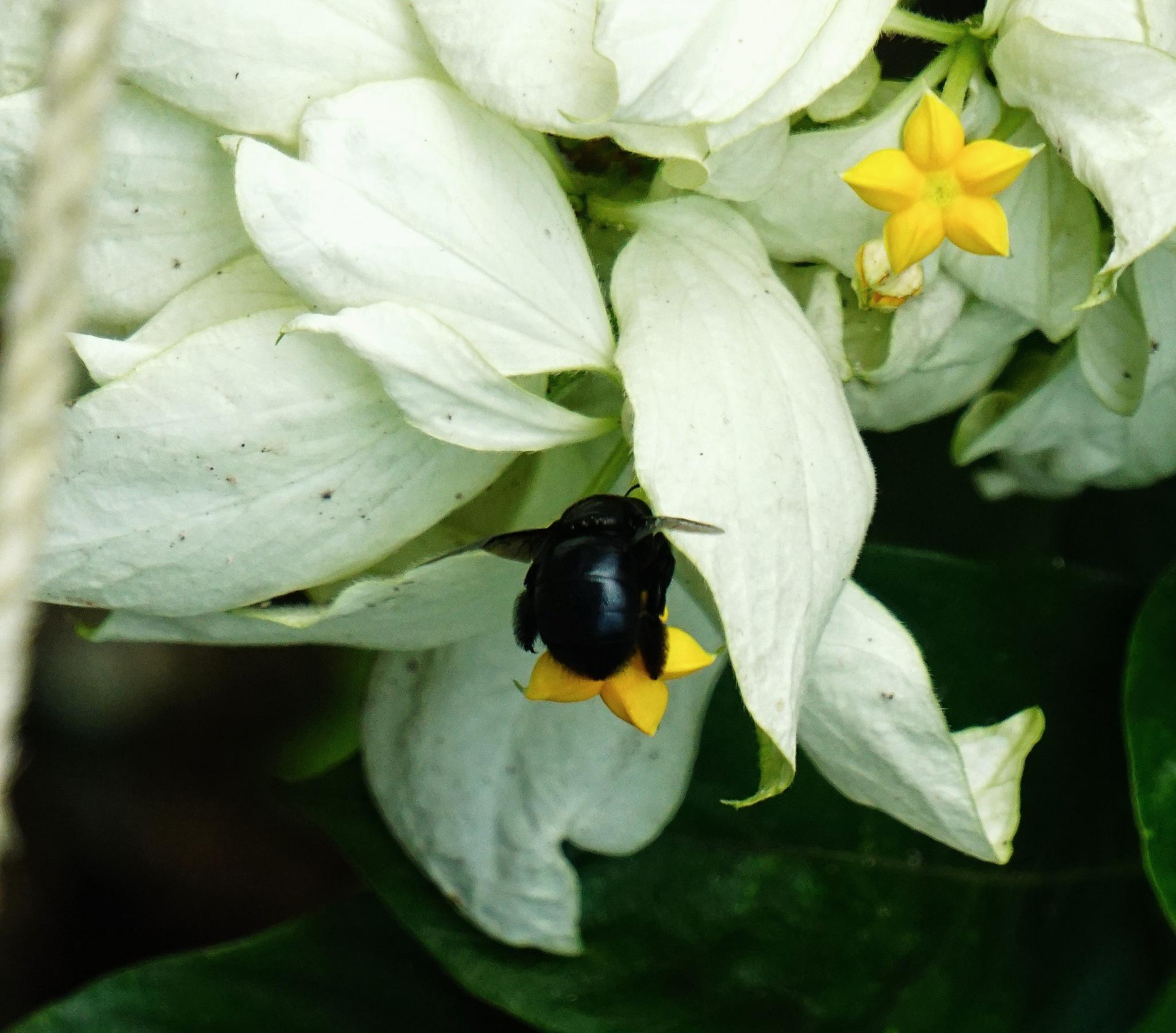 beetle by fazeeha