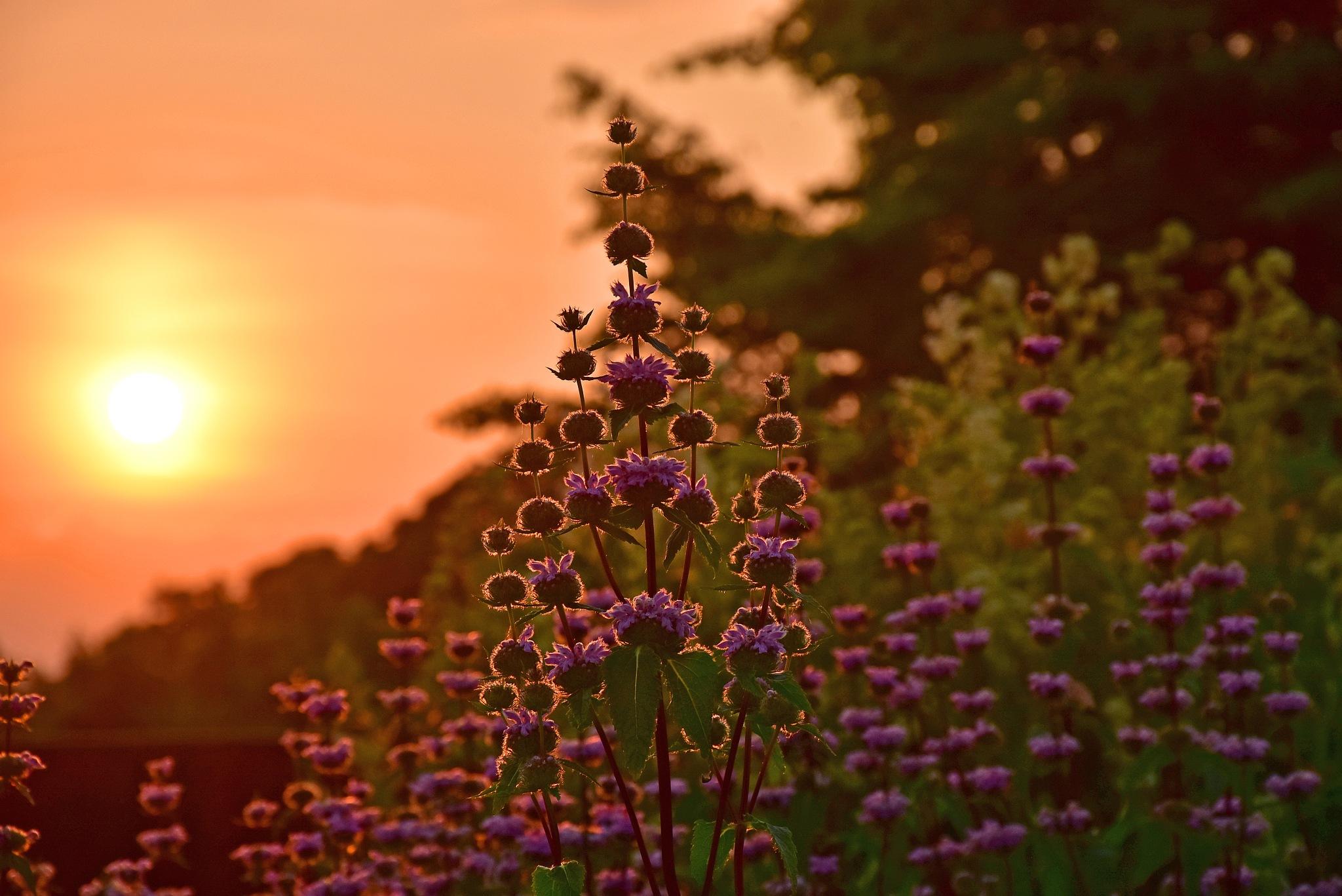 Purple Flower Sunrise by liwesta
