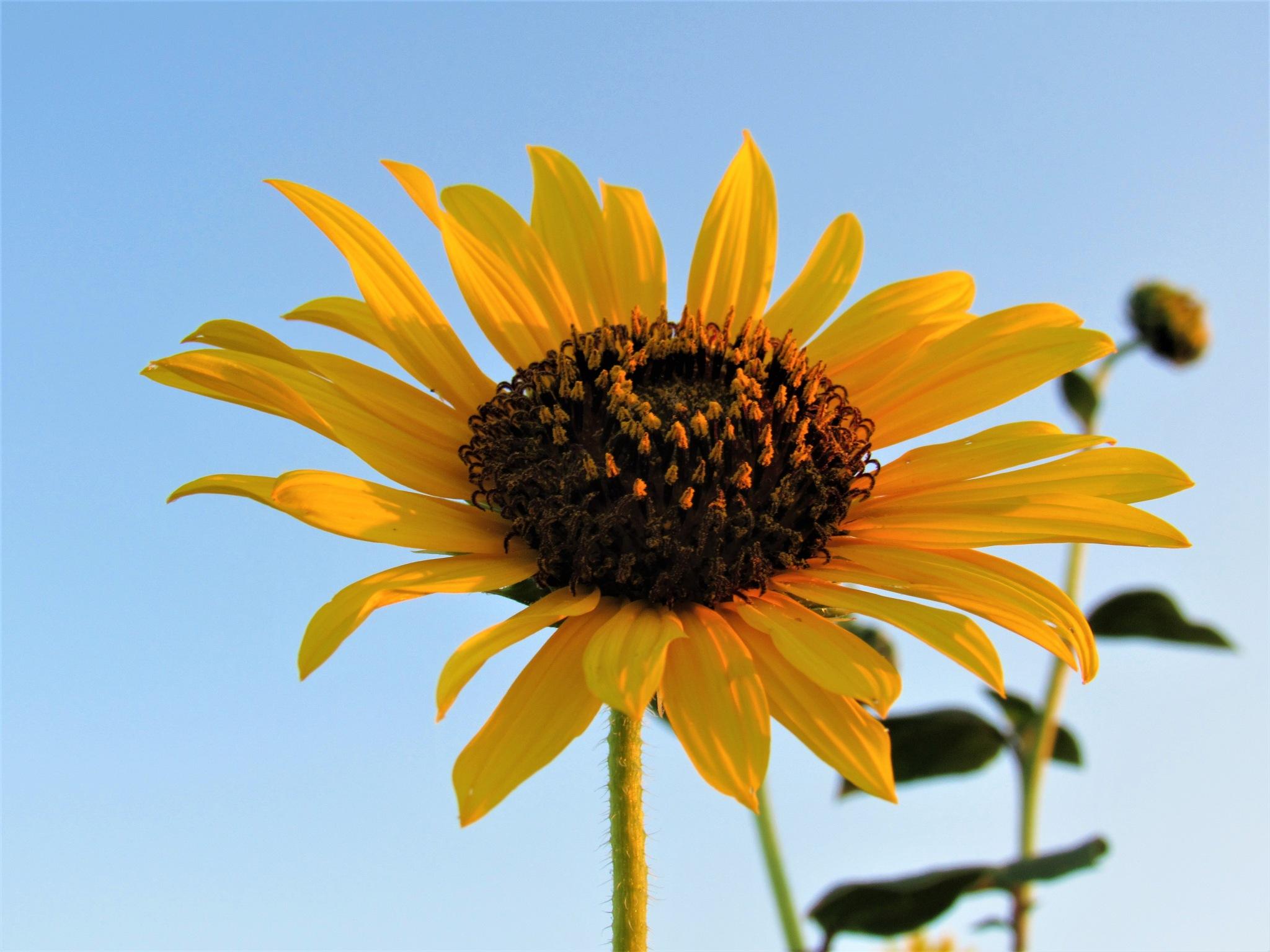 Sunflower by Brookelyn