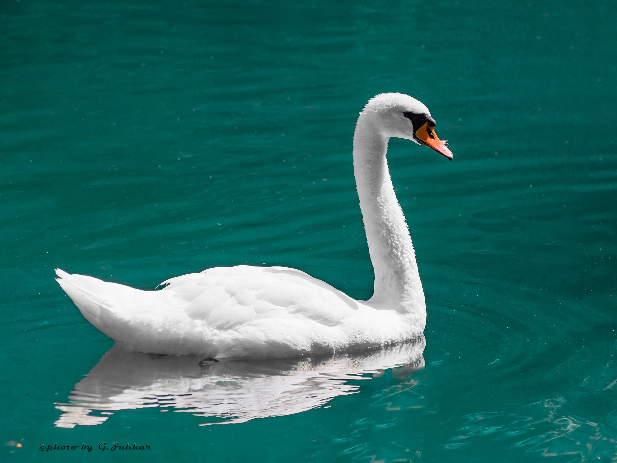 White Swan by Georgii Zukhar