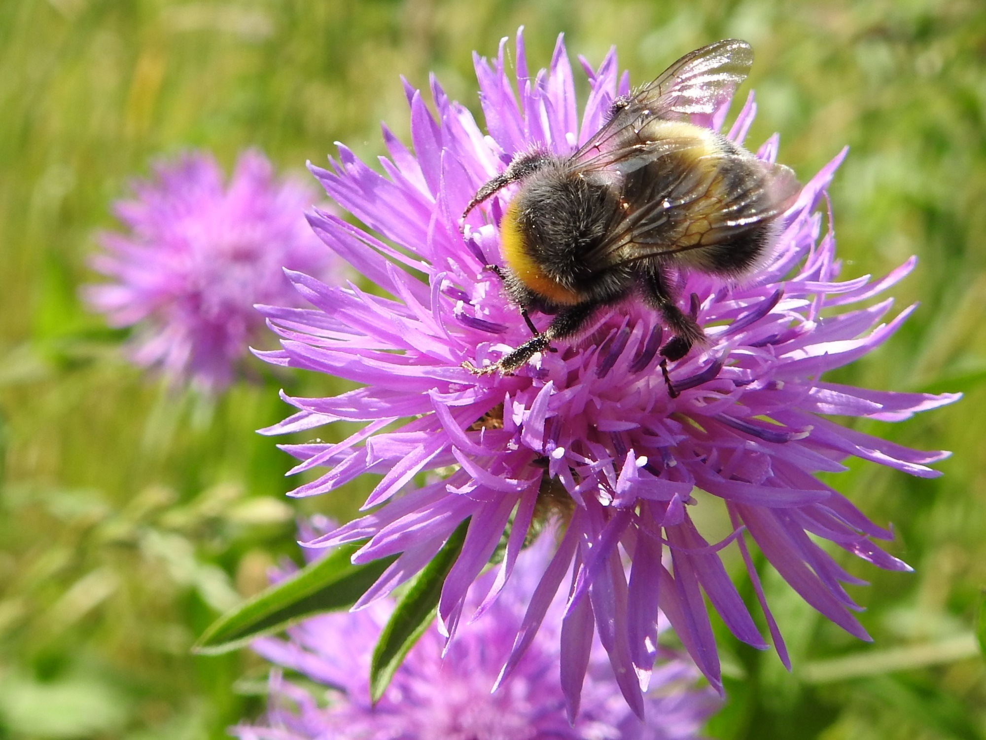 Buzy bumblebee by Fedor de Vries