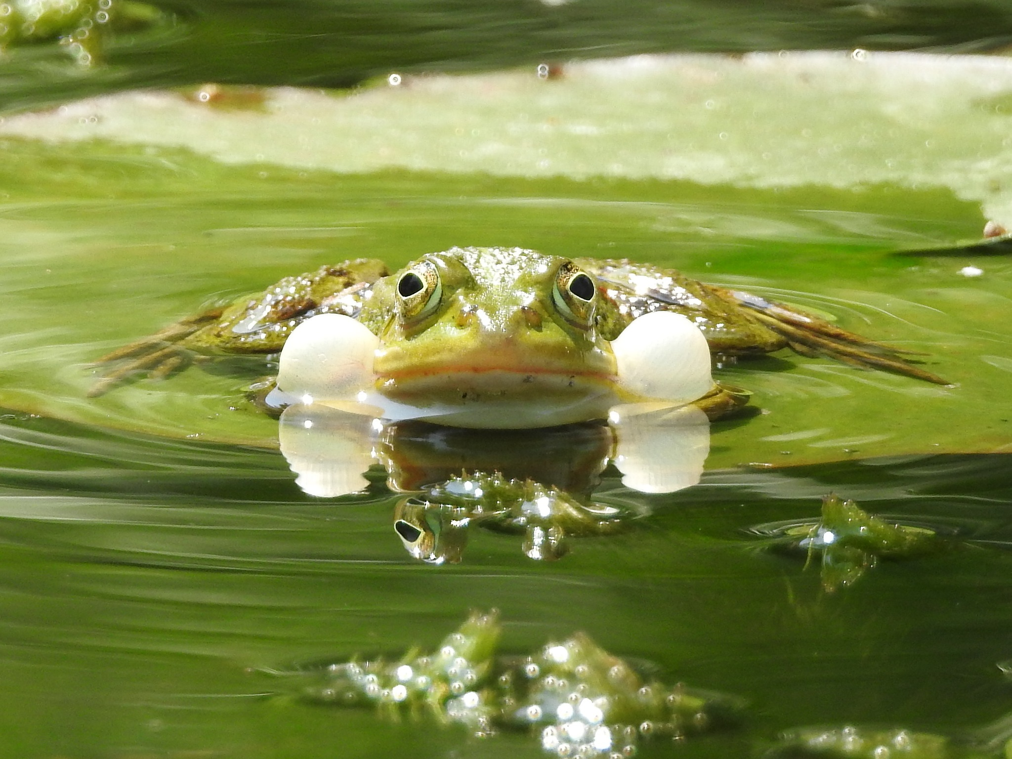 Freaking frog by Fedor de Vries