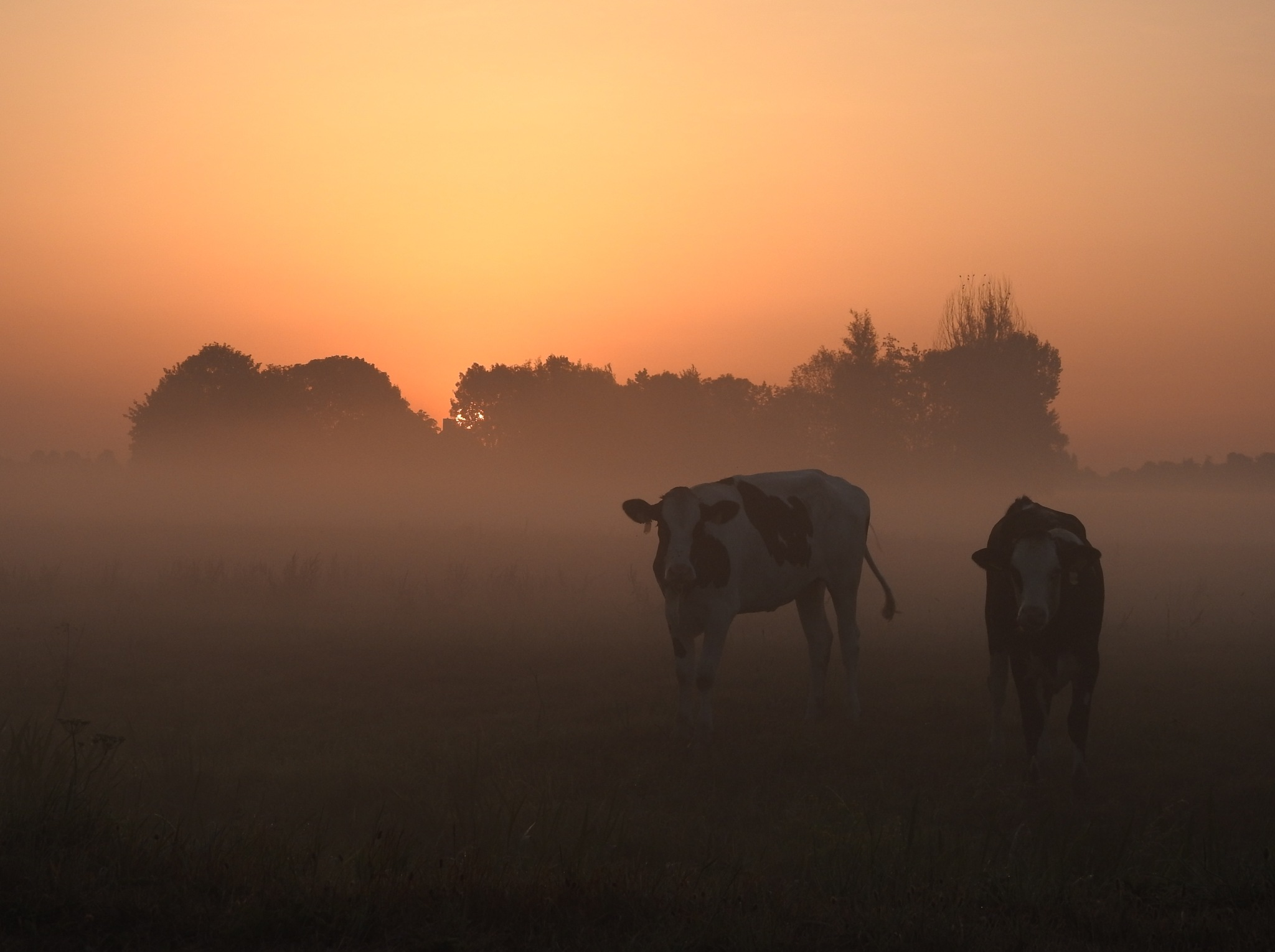 Curious cows in early morning haze... by Fedor de Vries