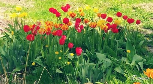 Such beautiful tulips =) by Rosario Photography