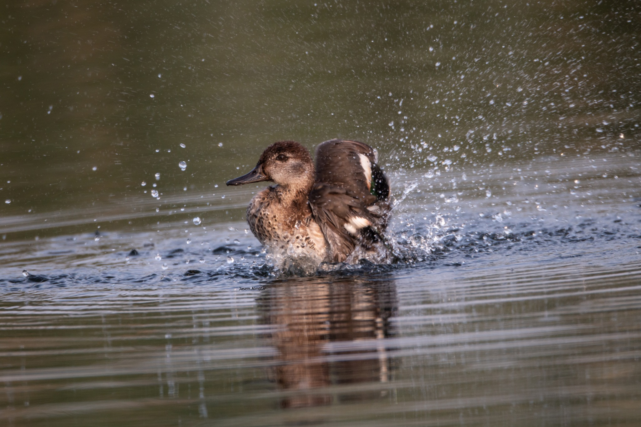 malard duck by jasem33