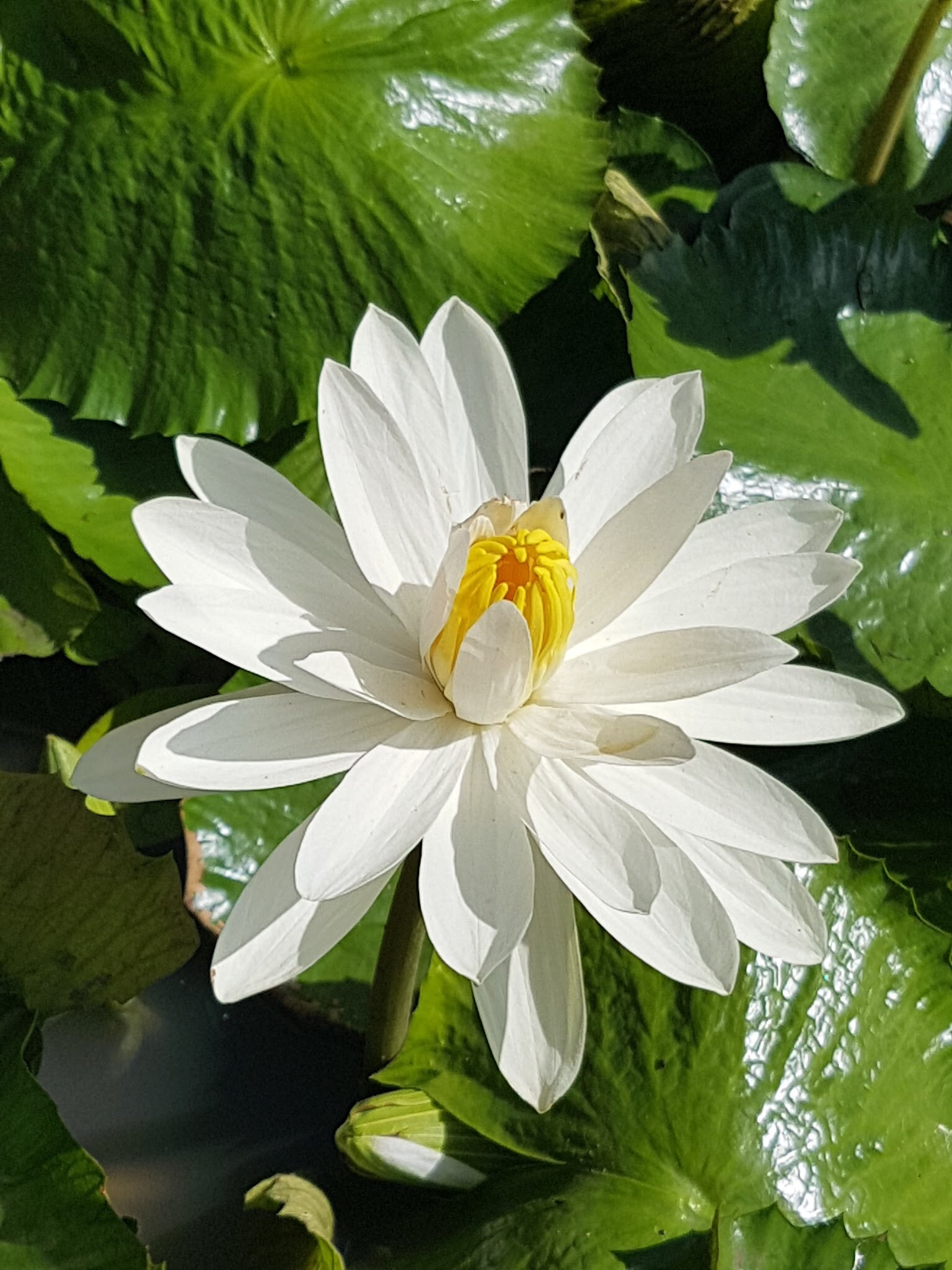 White water lily in daylight - Grenada by Nicki Fothergill