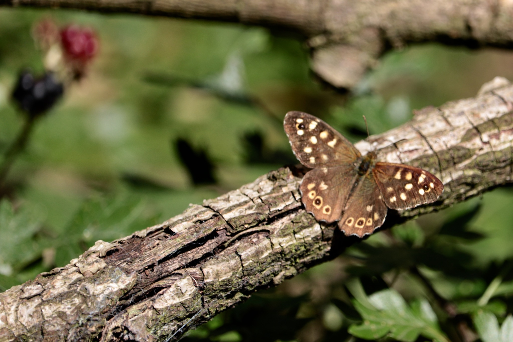 Speckled Wood butterfly by Nicki Fothergill