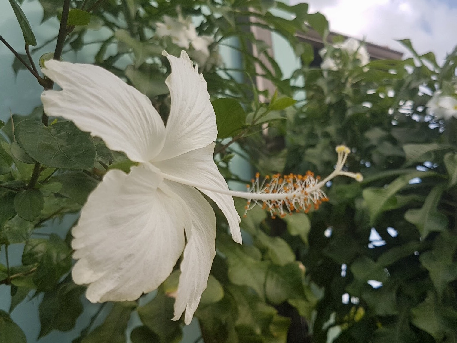 Hibiscus  by Nicki Fothergill