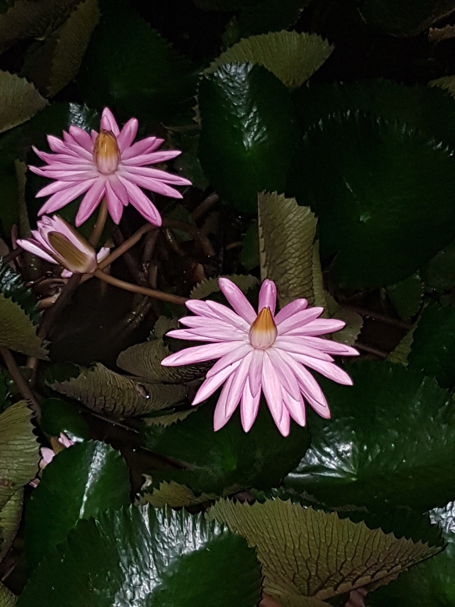 Pink water lilies at night by Nicki Fothergill