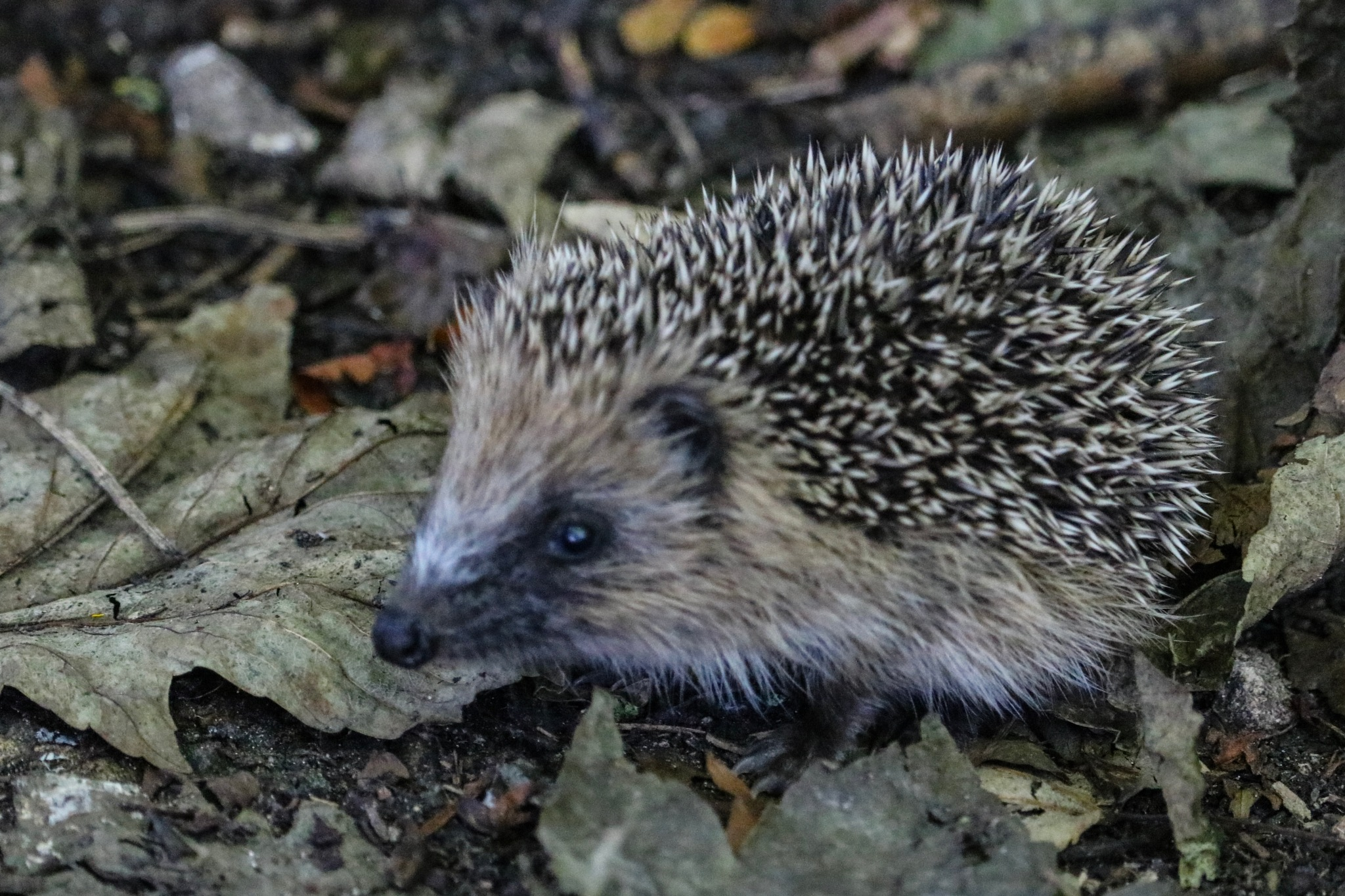 Lonesome baby hedgehog by Nicki Fothergill