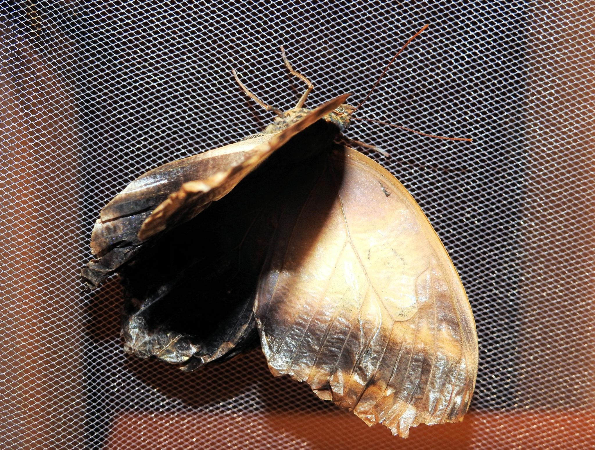 Naples - World Butterflies - Live Butterflies Show - Etoile produzioni Papallona Butterfly - 18 by Mister Arnauna & Gatto Giuggiolone