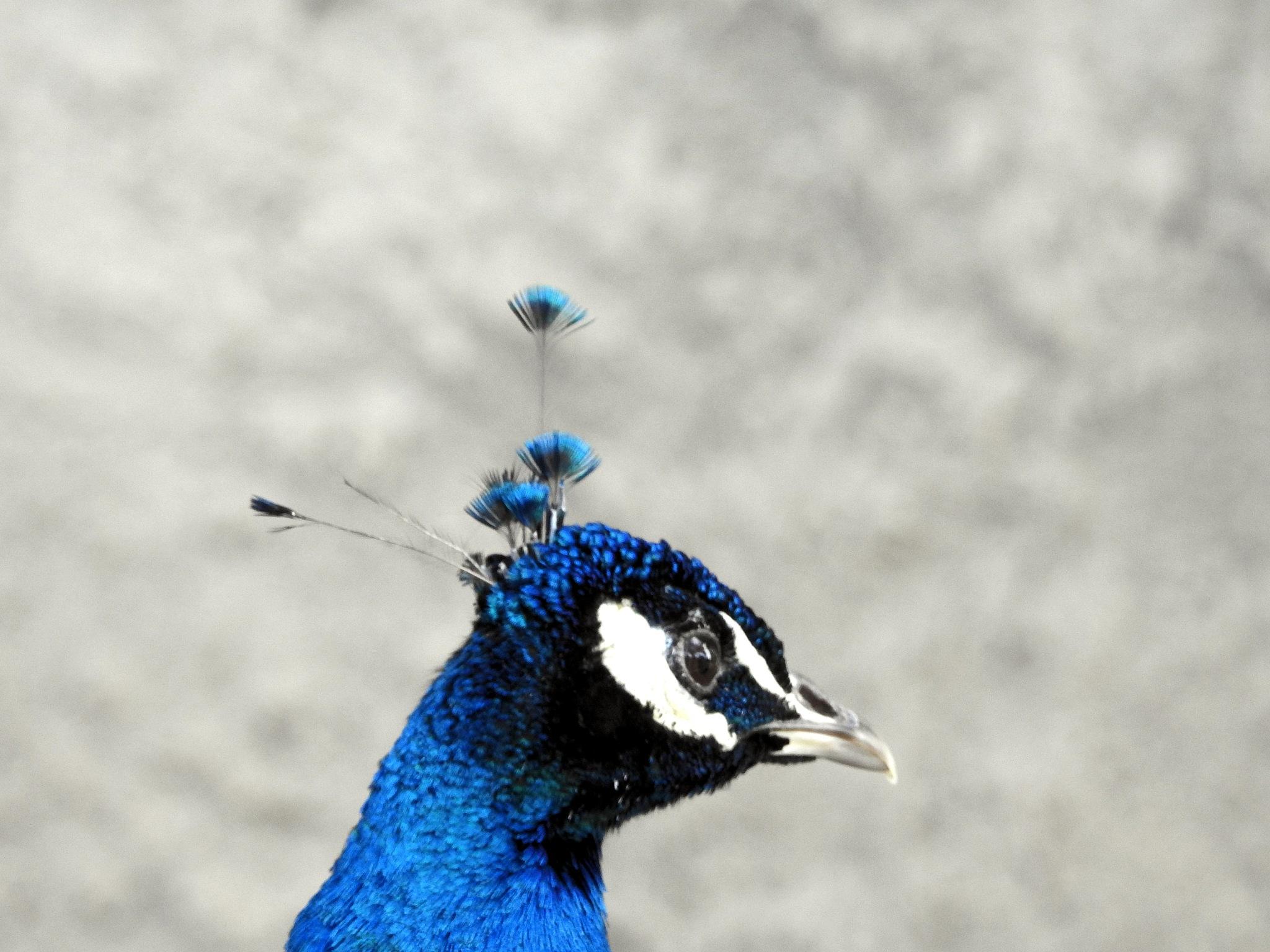 Good morning mister Peacock - Bon dia senyor Paó reial!!! - 2 by Mister Arnauna & Gatto Giuggiolone