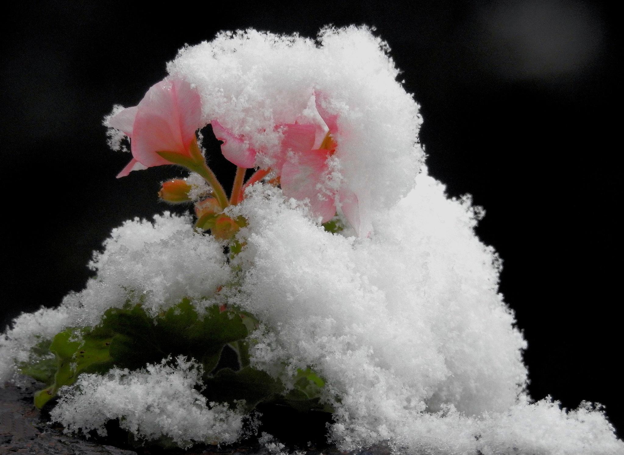 27 - 2- 2018 - La Neu i la Flor - The Snow And the Flower - 1 by Mister Arnauna & Gatto Giuggiolone
