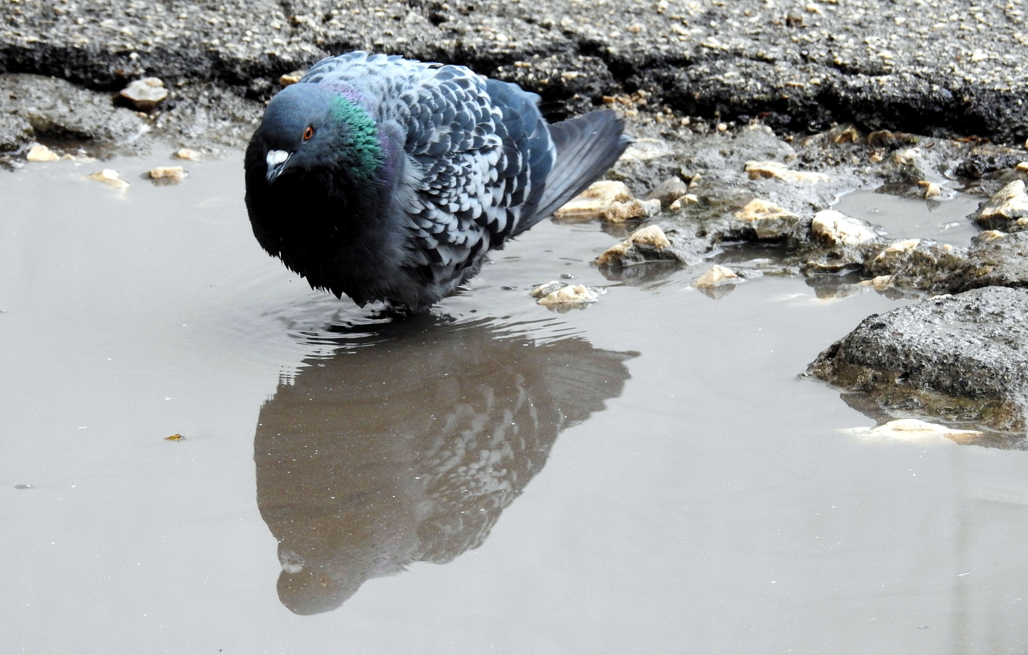 Naples - The Wet T-Shirt... Ops The Wet Pigeons - 6 by Mister Arnauna & Gatto Giuggiolone