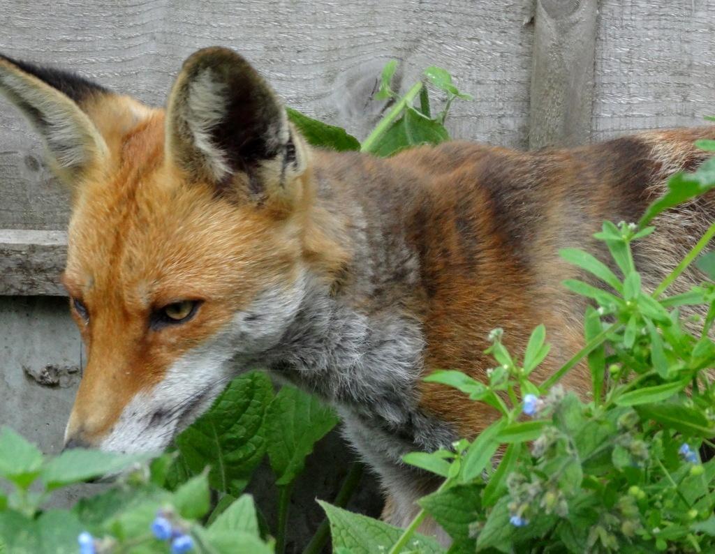 Suburban Fox by marishkaUK