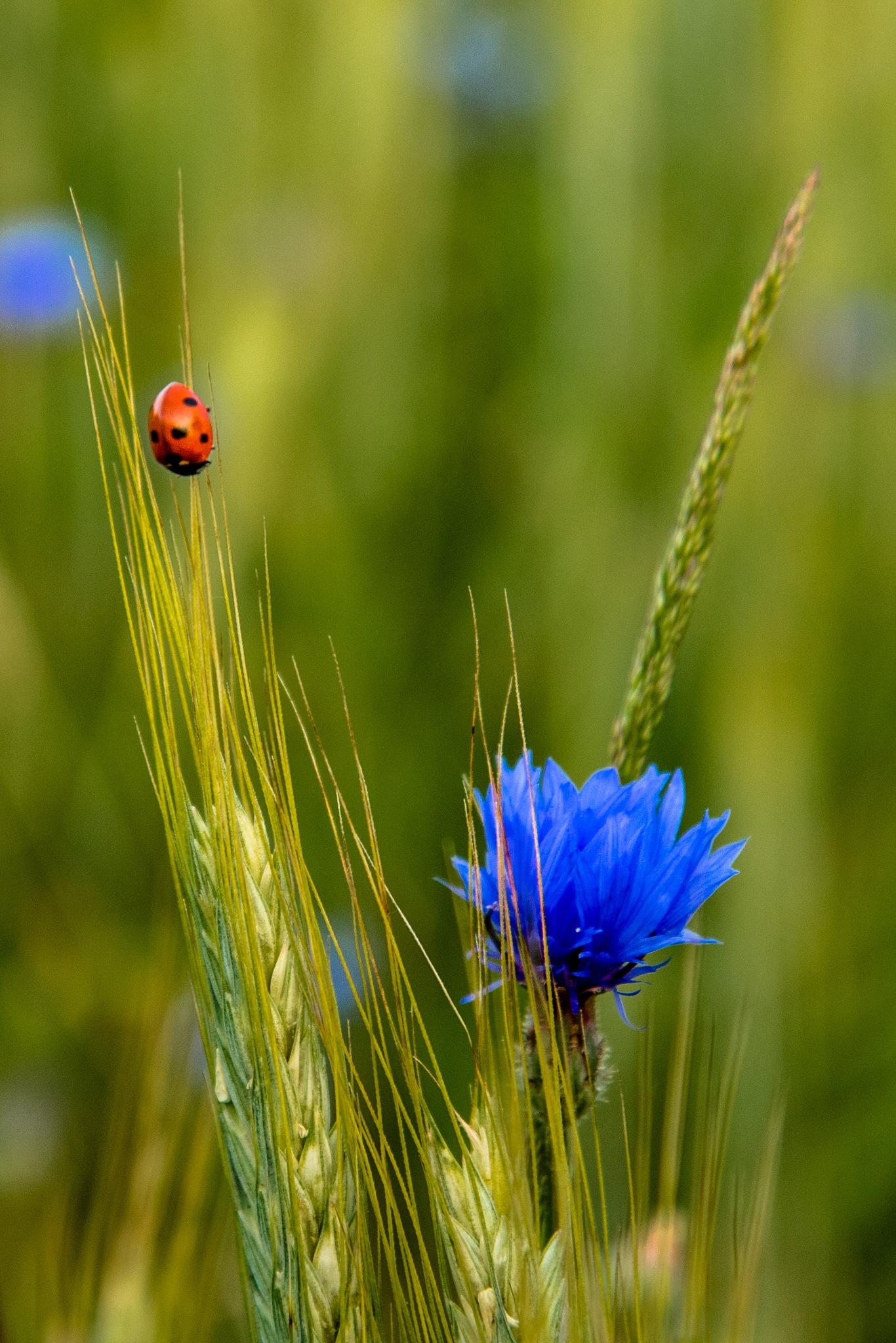 Ladybug and cornflower by Mattias Geisler