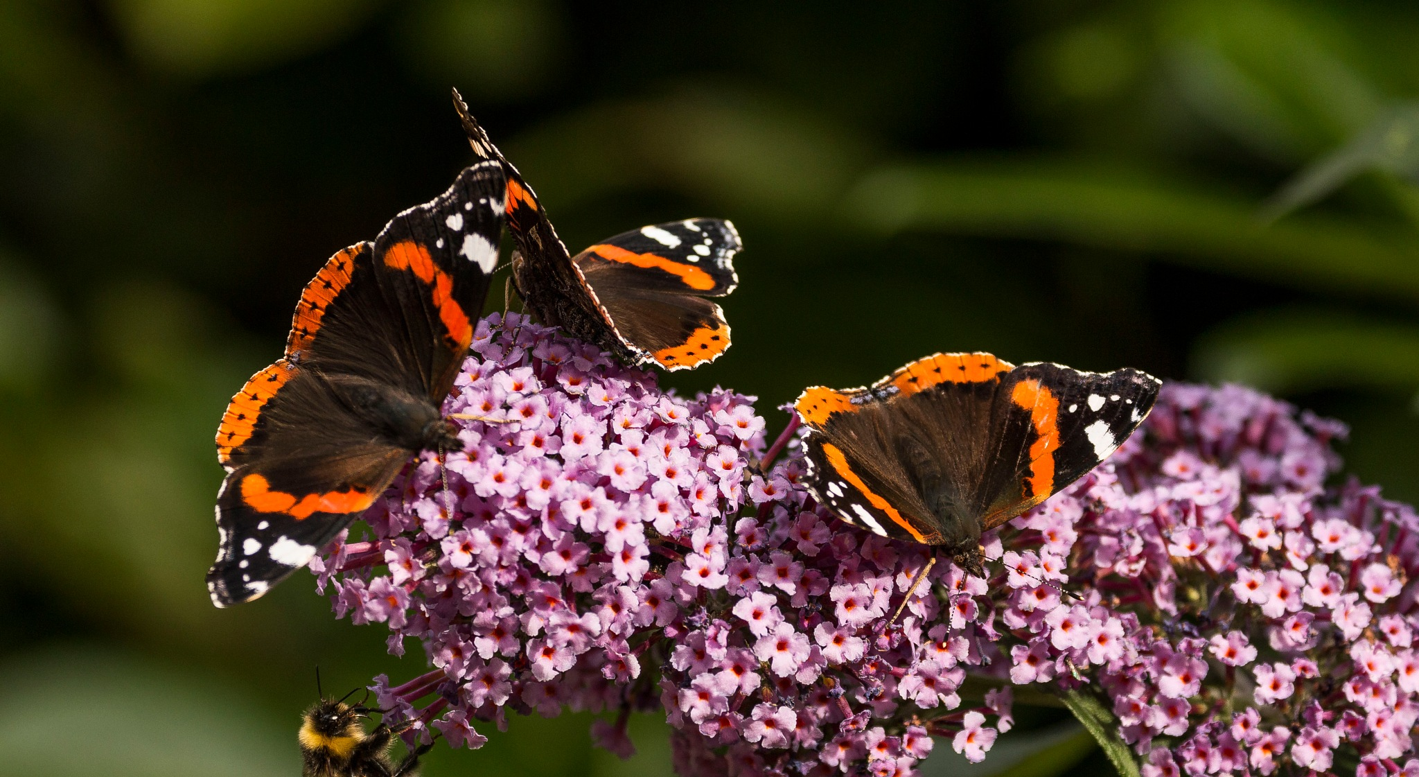 Red Admirals by Mike Smith