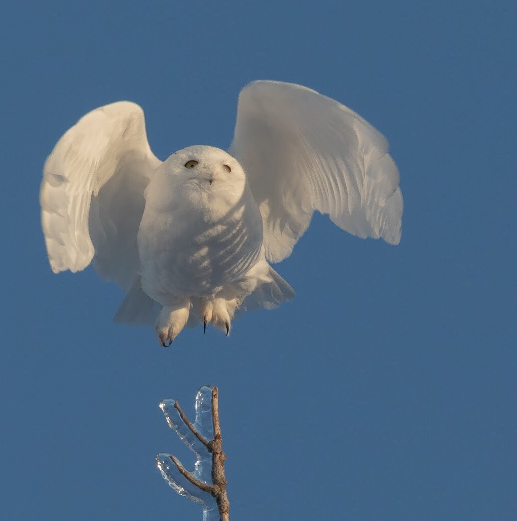 Snowy owl by Charlaine Jean