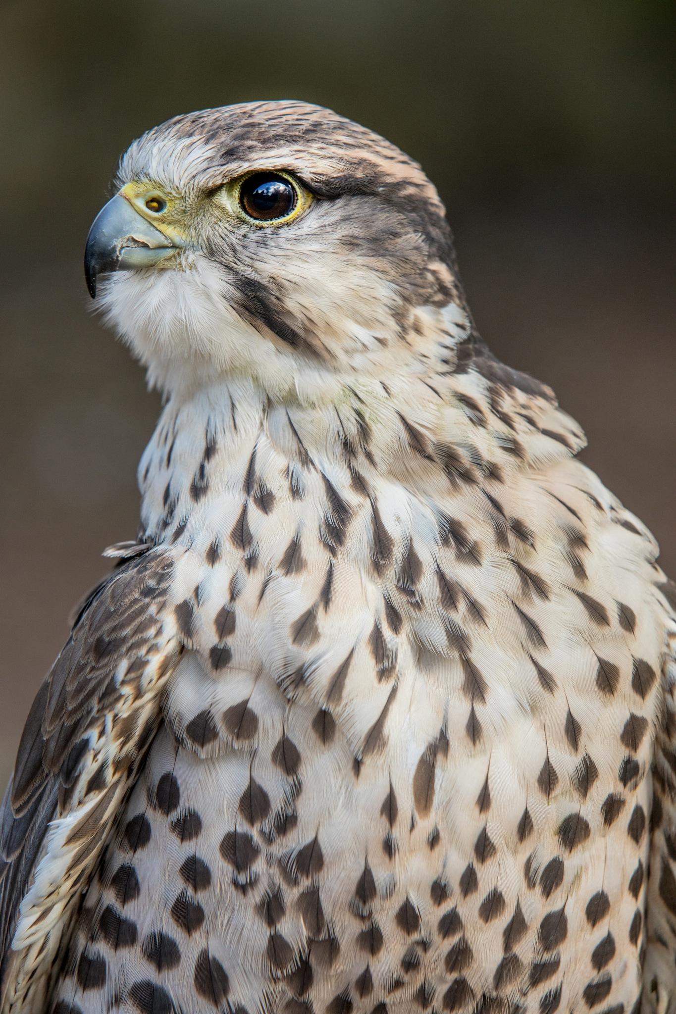 Lanner Falcon by bannekh