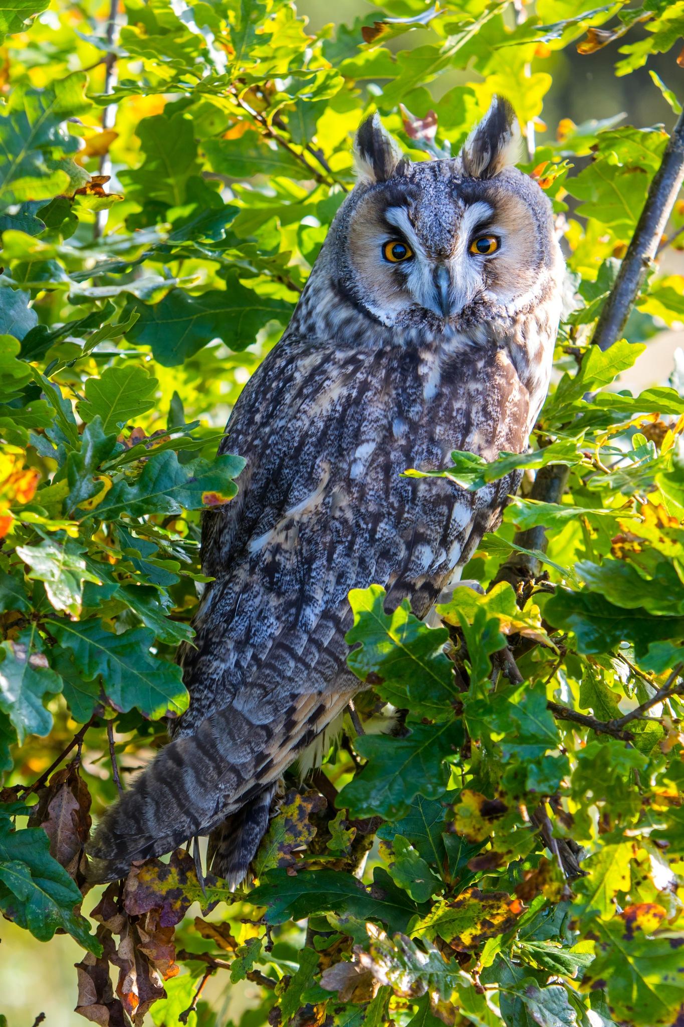 Long Eared Owl by bannekh