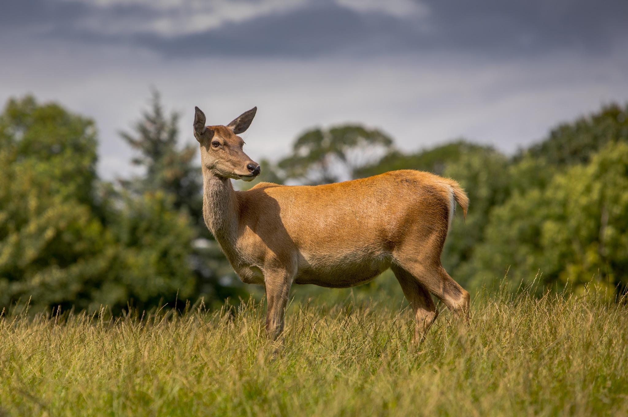 Rd Deer 2 by bannekh