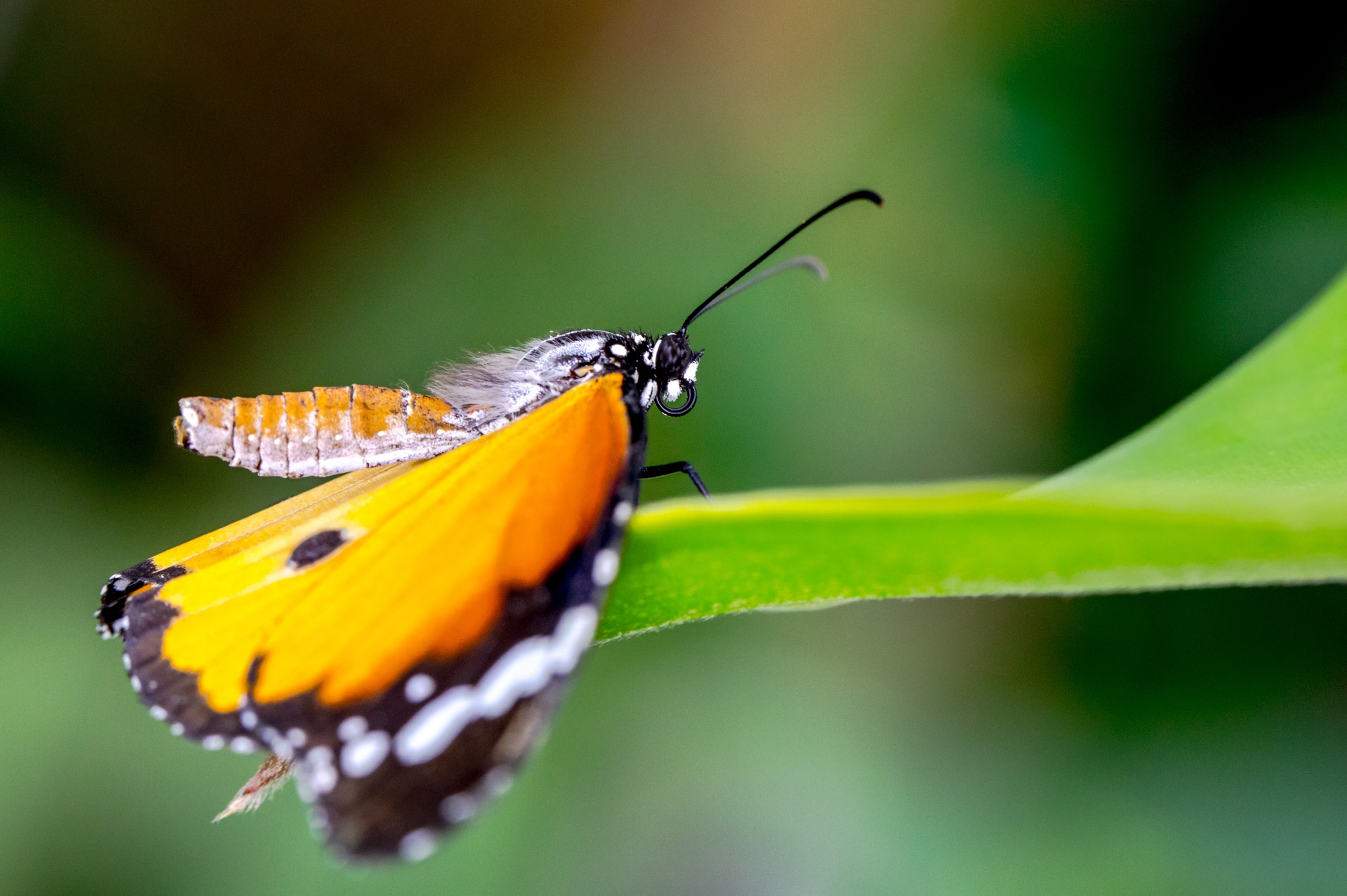 Hecale's Longwing by bannekh
