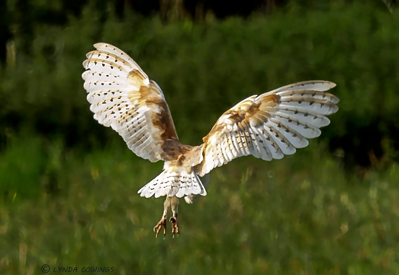Back view of a Barn Owl by LyndaCowings