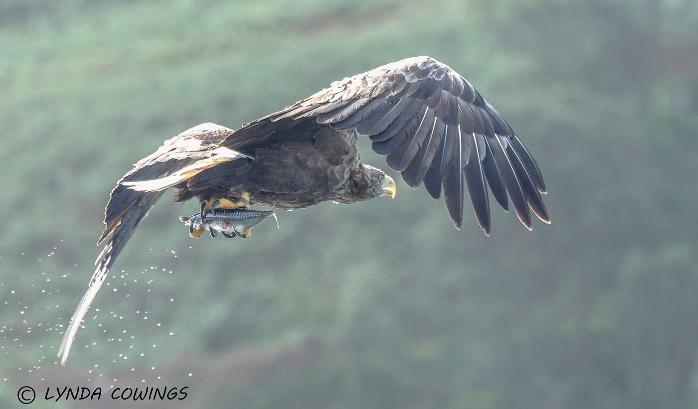 White tailed sea eagle by LyndaCowings