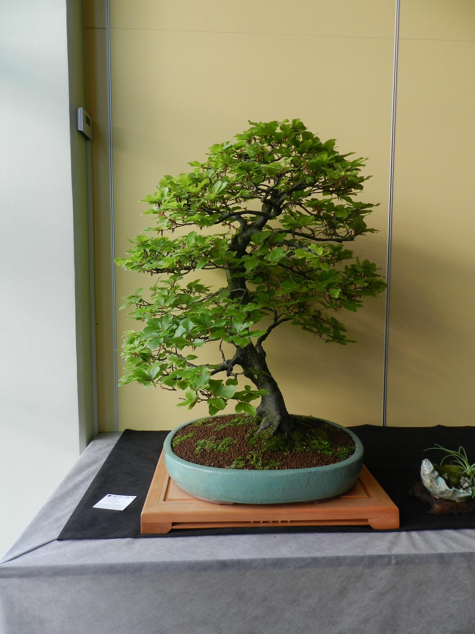 bonsai by tomazek