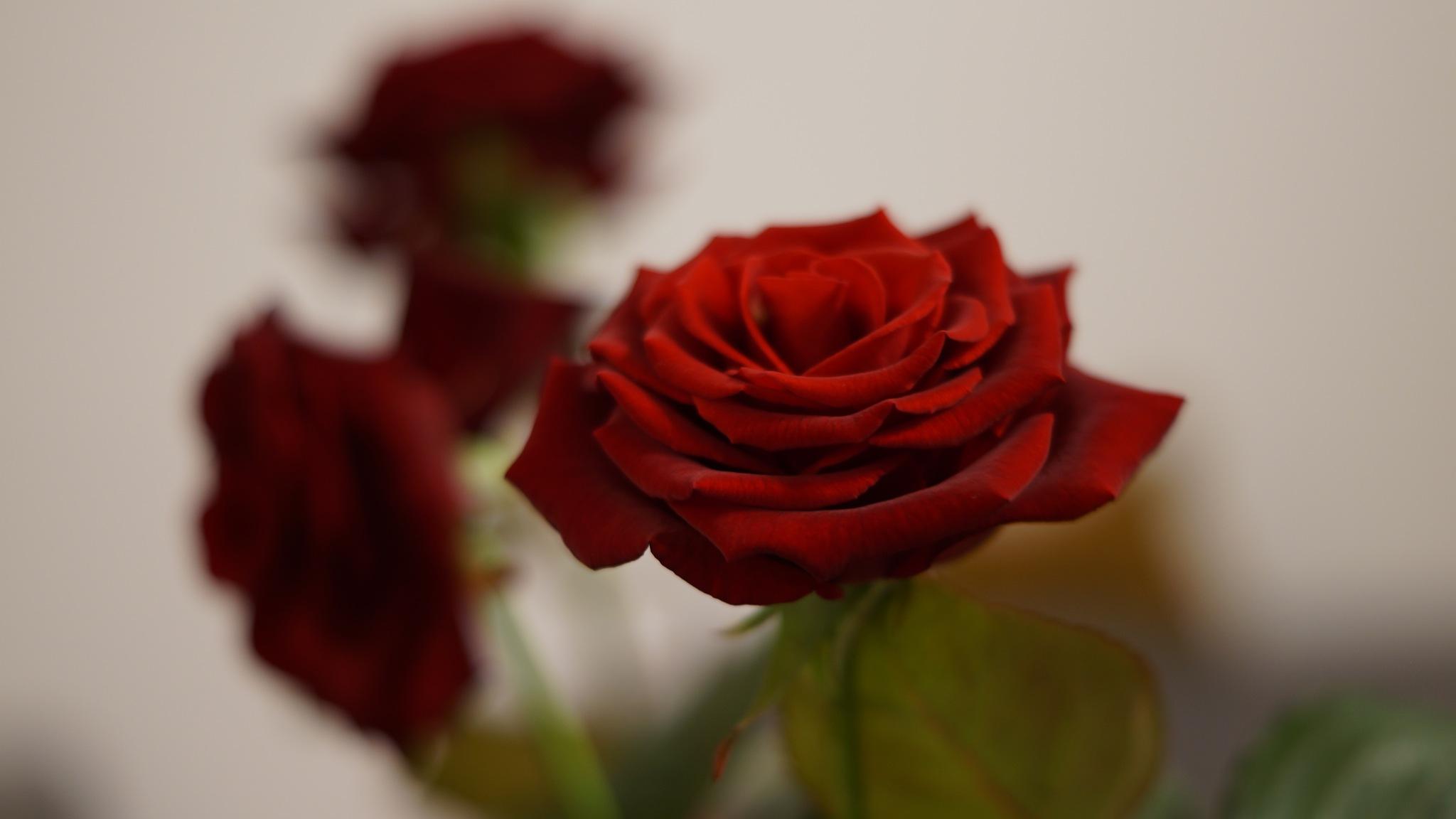 Roses by Jārėk Wālijėwski