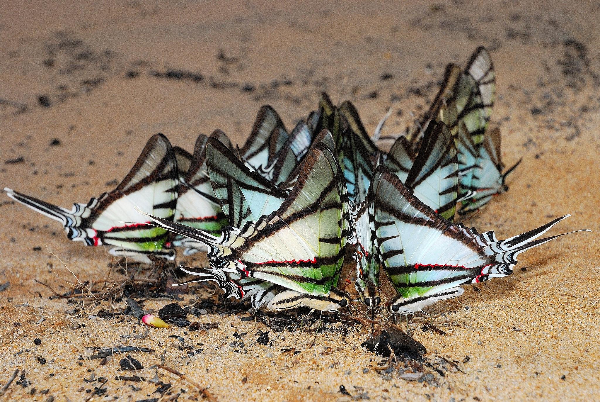 Butterfly flock by Gustavo de Mattos
