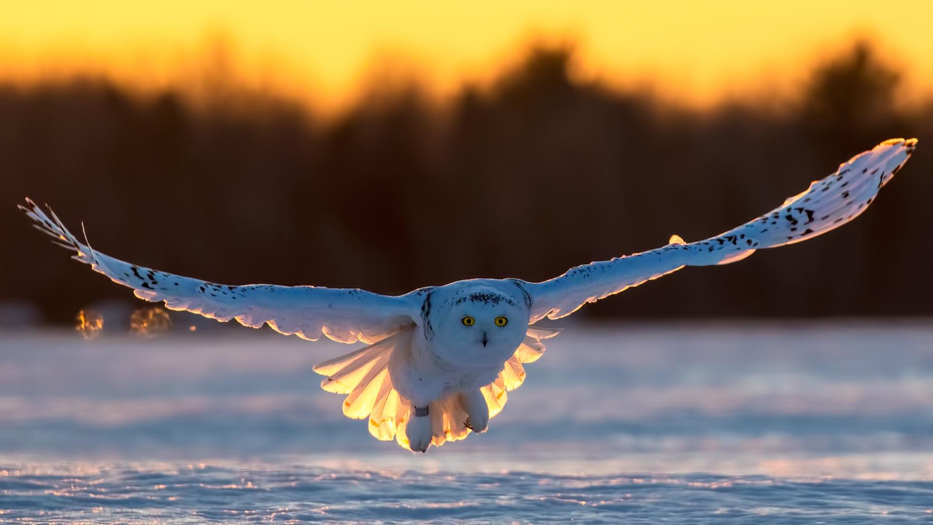 Snowy owl by ihsan çiçek