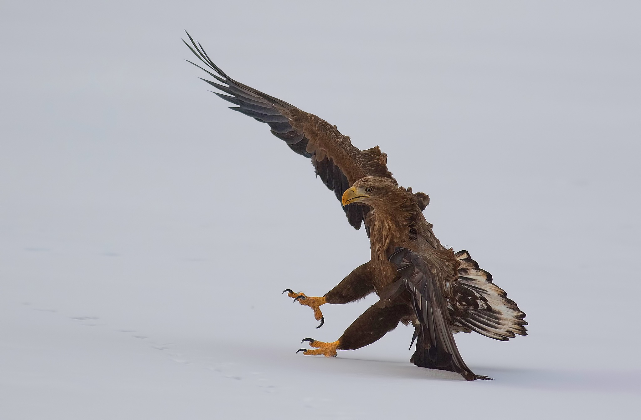 white-tailed eagle by ihsan çiçek