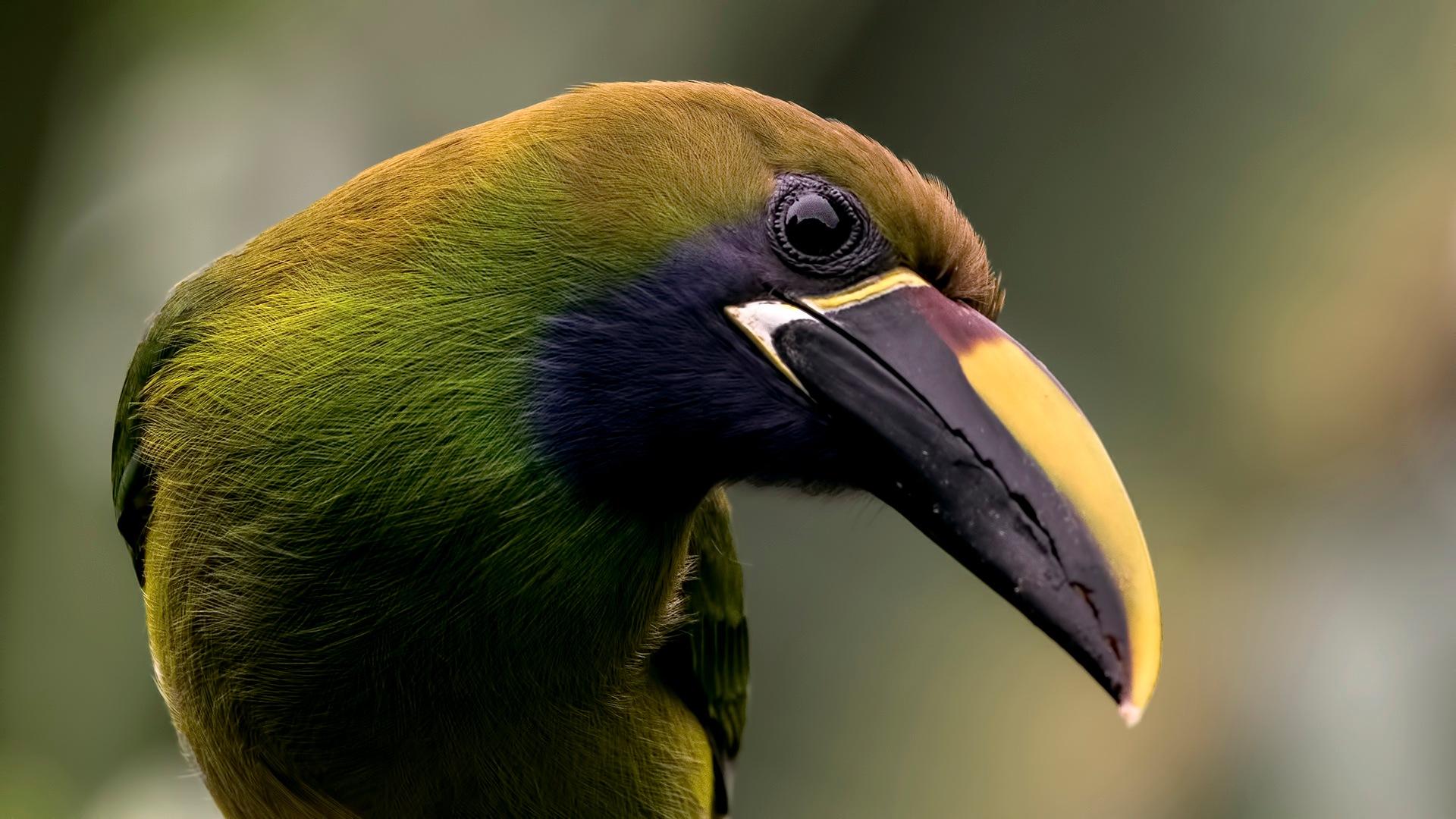 emerald toucaned 3 by ihsan çiçek