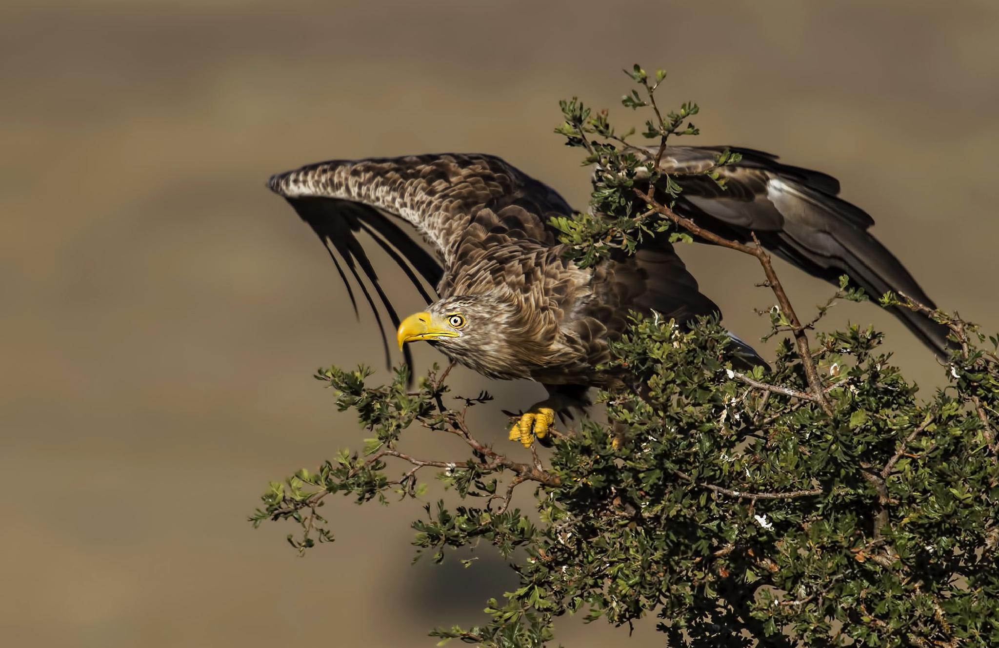 Akkuyruklu kartal » White-tailed Eagle » Haliaeetus albicilla by ihsan çiçek