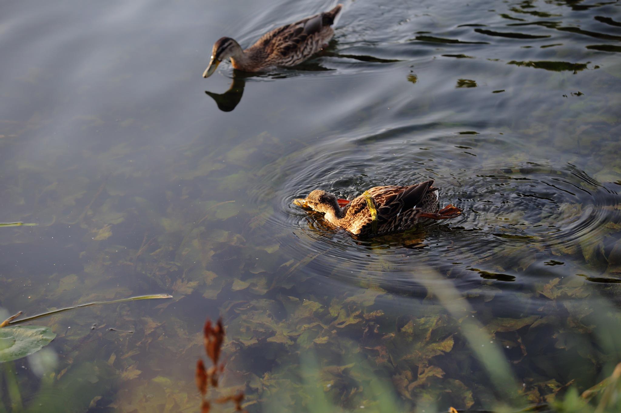 Duck by turok59660