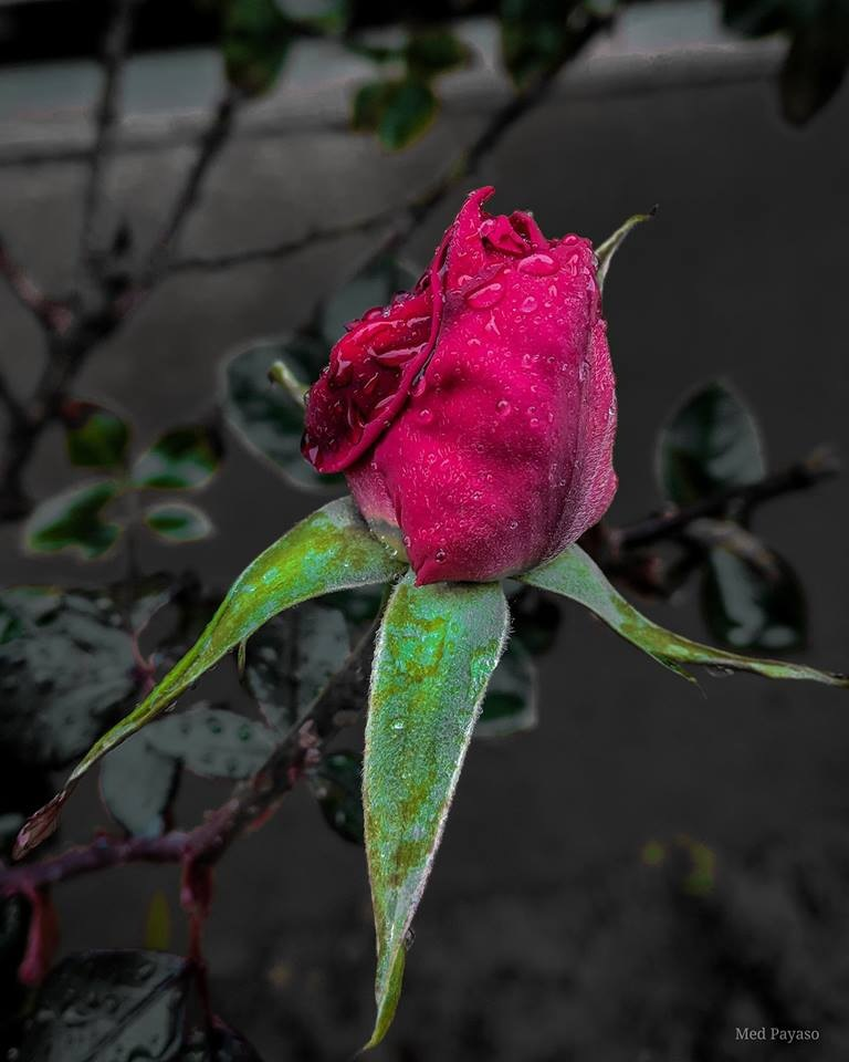 ROSE by payasomed