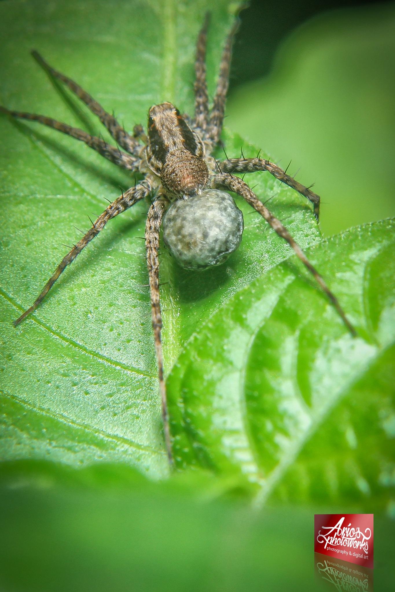 spiderbalon by ario photowork