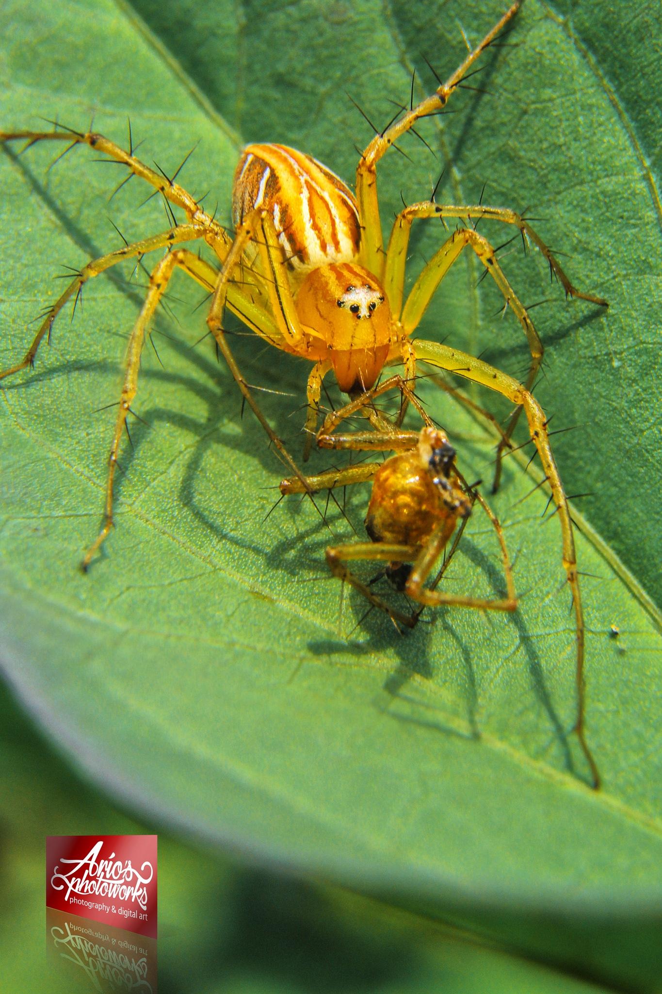 yellow spider by ario photowork