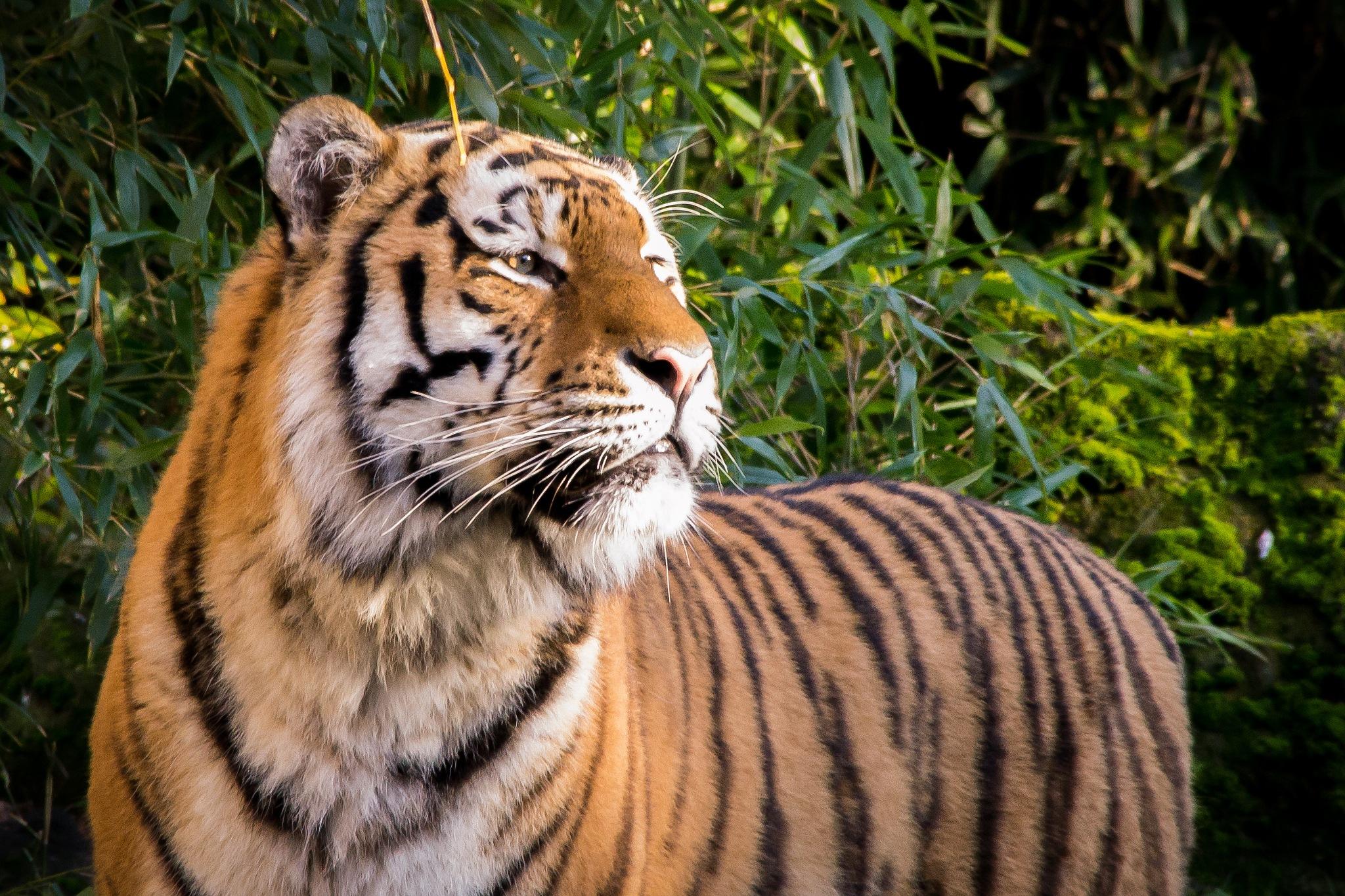 Tiger by Christian Thomas
