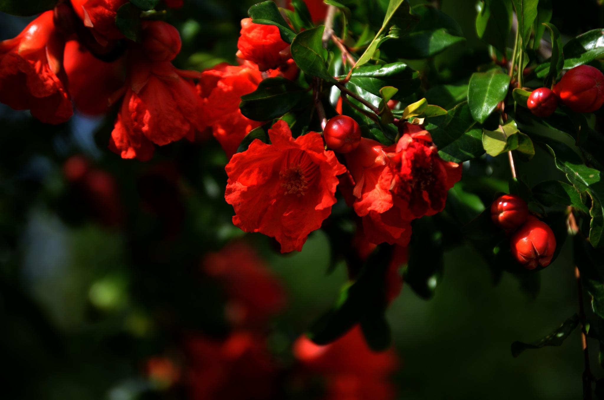 pomegranate flower by Emel Seckin