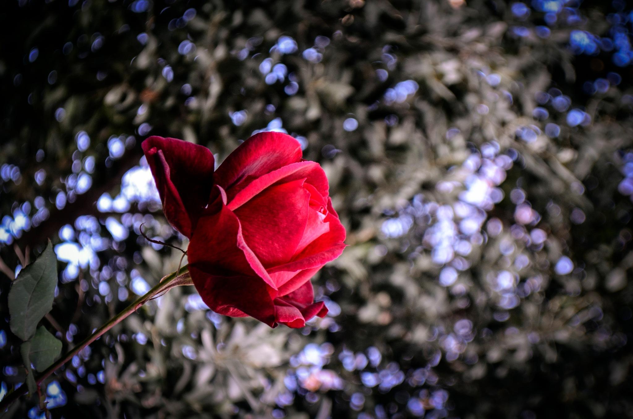 rose by Emel Seckin
