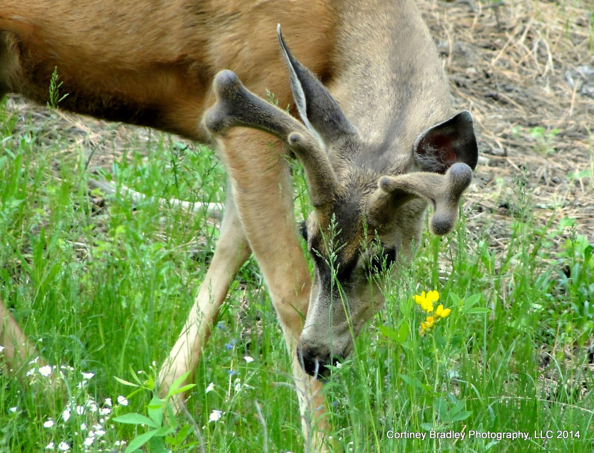 Buck mule deer - Evergreen, CO by cortineybradleyphotography