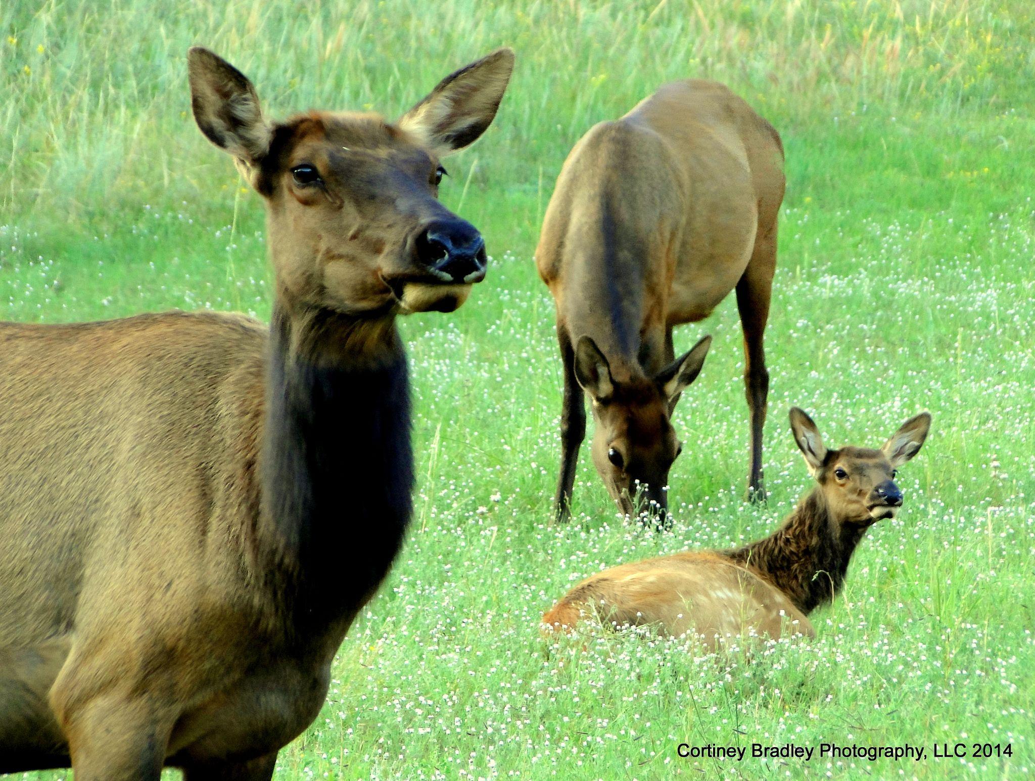 Elk family by cortineybradleyphotography