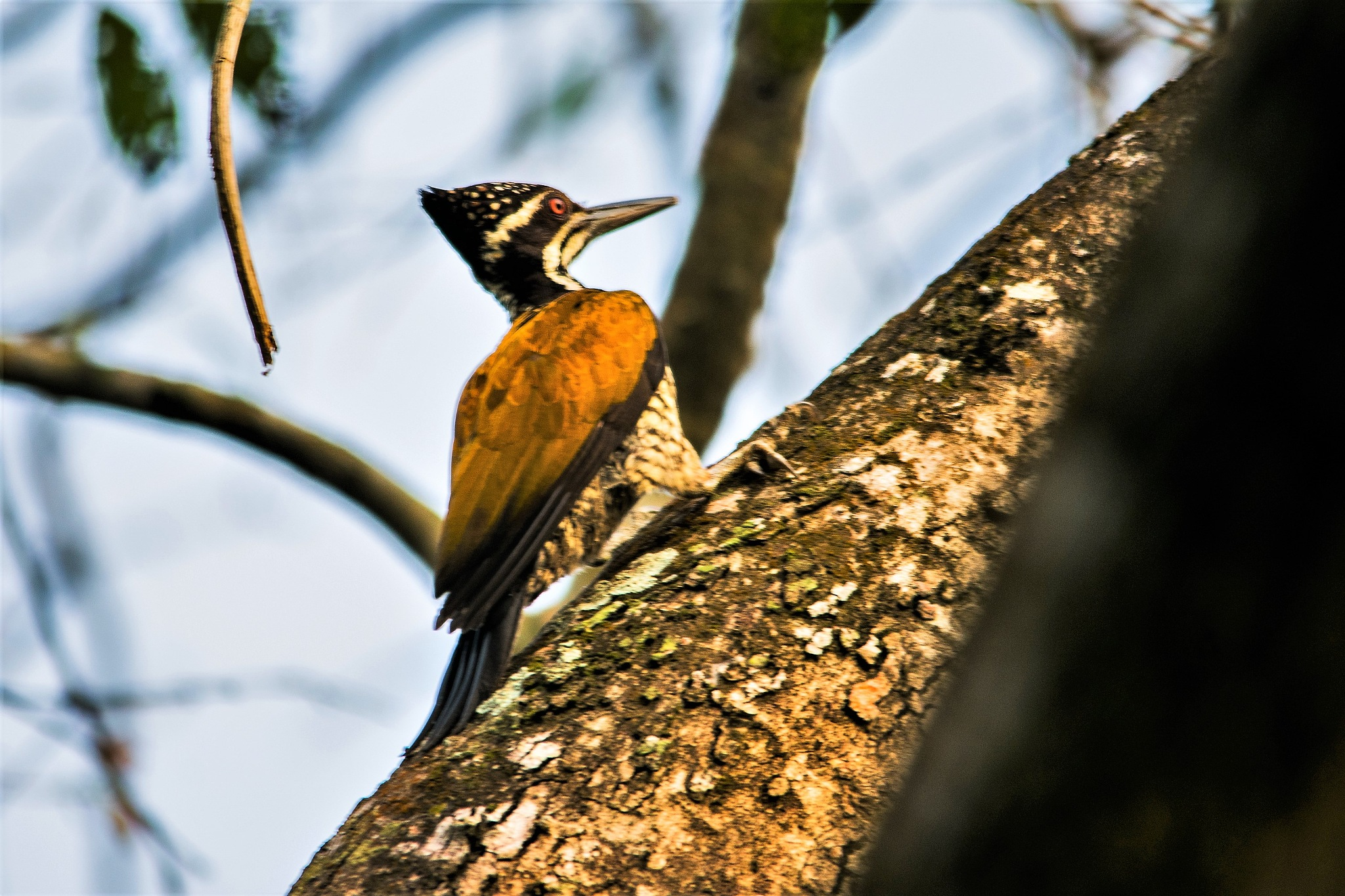 Photo in Animal #bird #bird watch #bird love #birding #birds #animal #indian birds #india #wildlife #sanctuary #india #woodpecker #golden backed #animals #bird photo #wildlife photographer #photography