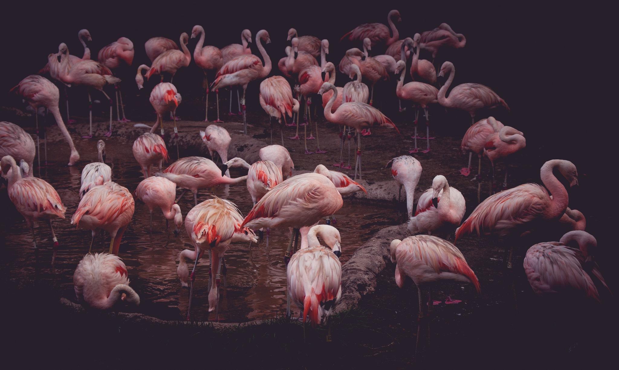 Flamingo's by AKarahan