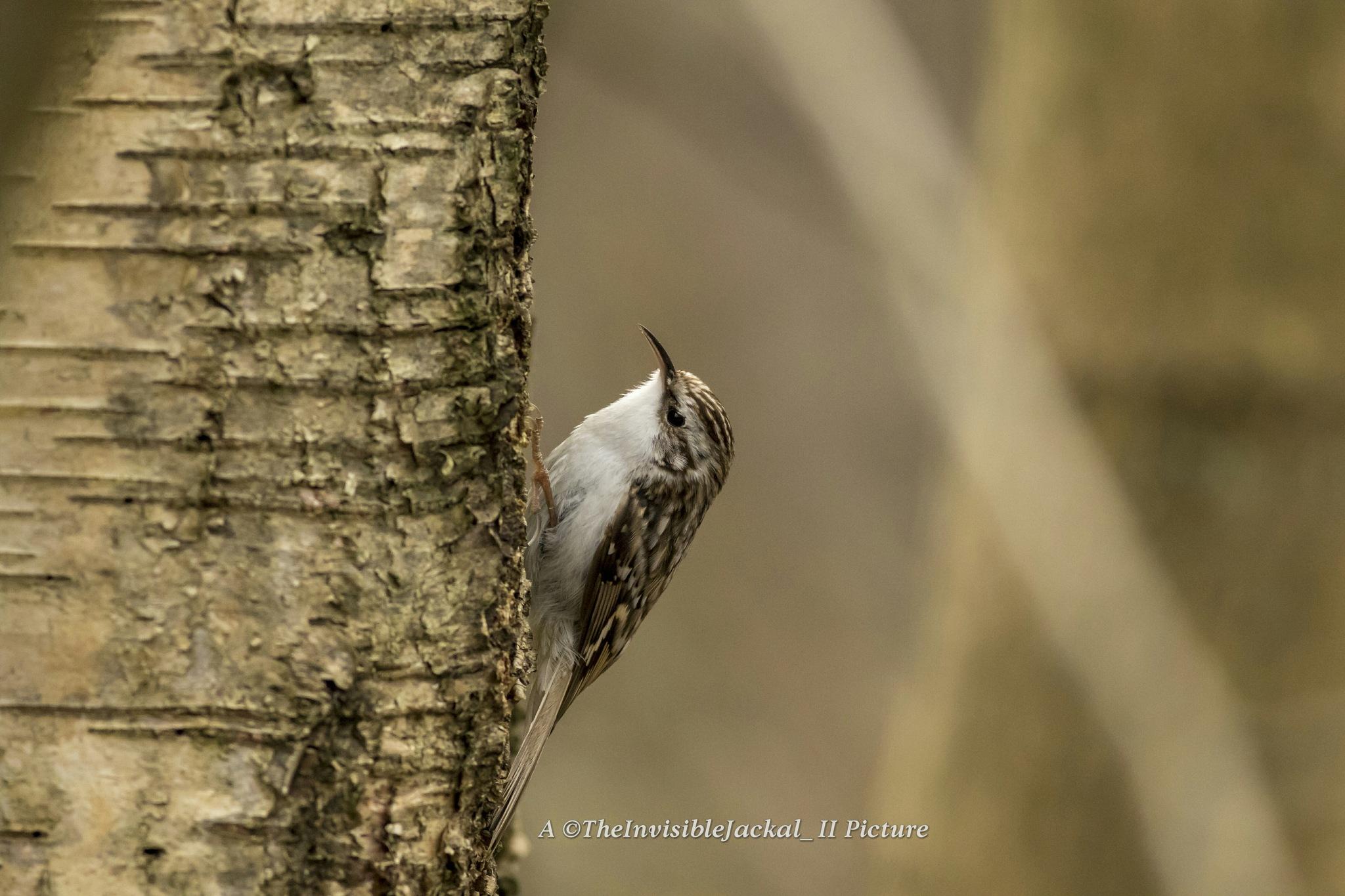 Eurasian Treecreeper - Trädkrypare  by TheInvisibleJackal