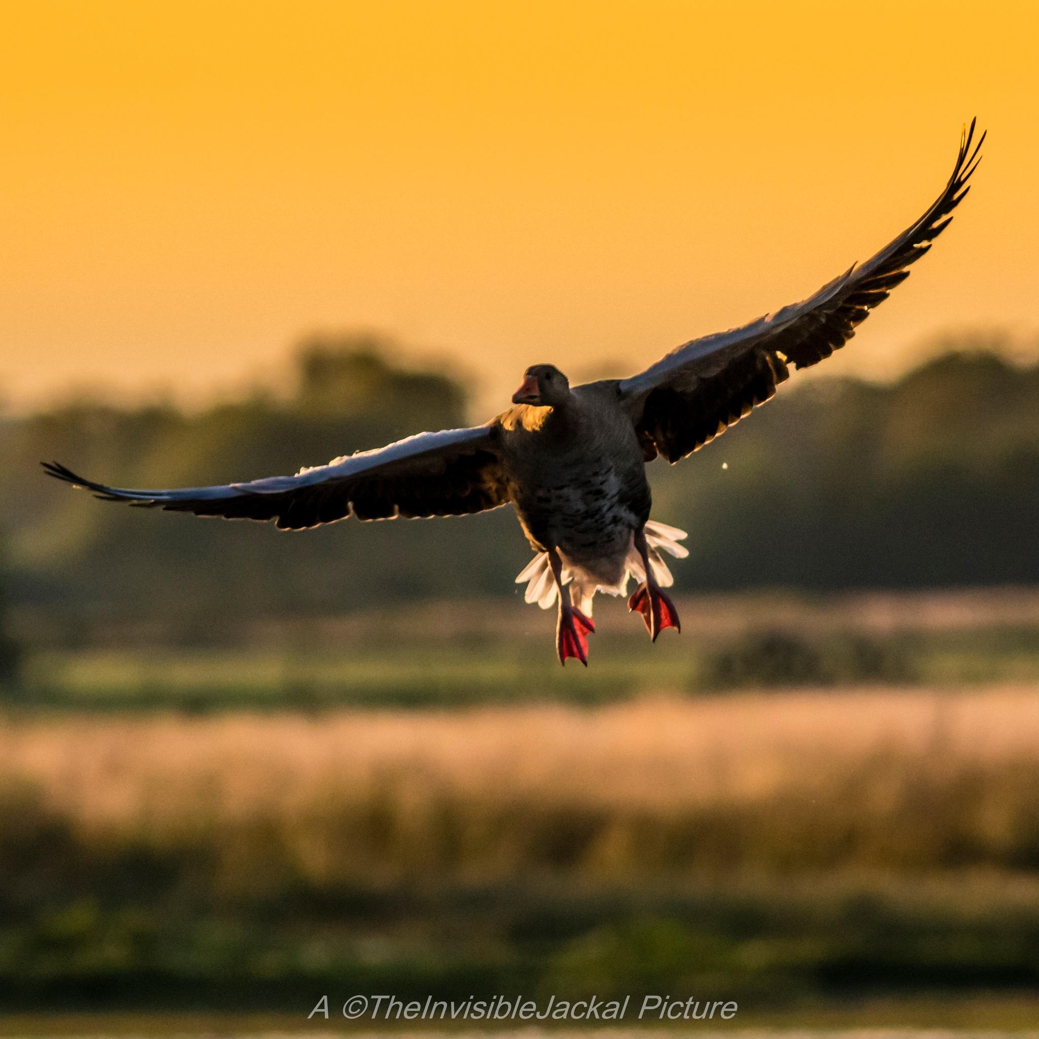 Greylag Goose  by TheInvisibleJackal