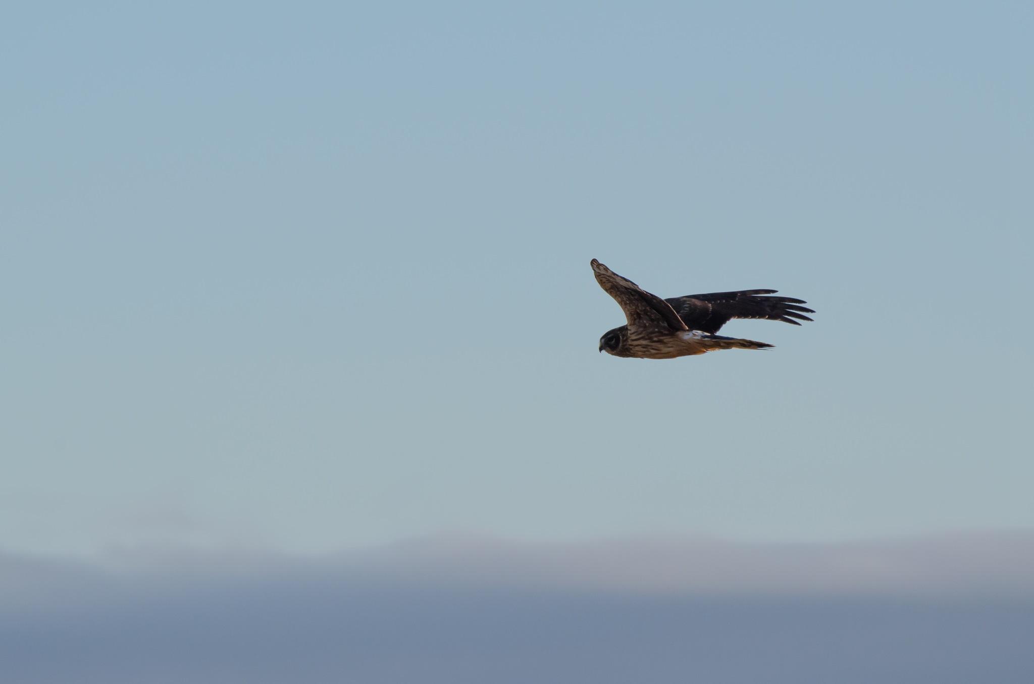 Hen Harrier. by Joonas